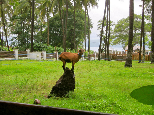 Goat-in-Gili-Air-traveling9to5