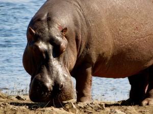 Hippo in Chobe Park in Botswana