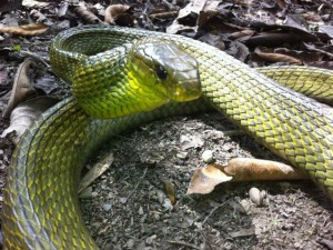 snake in peruvian amazon