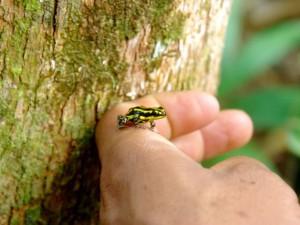 amazon poison dart frog