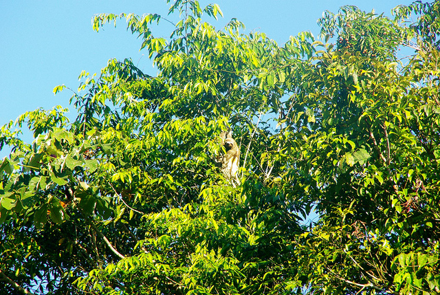a sloth in the peruvian amazon