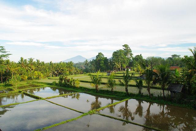 Ricefields in Ubud, Bali