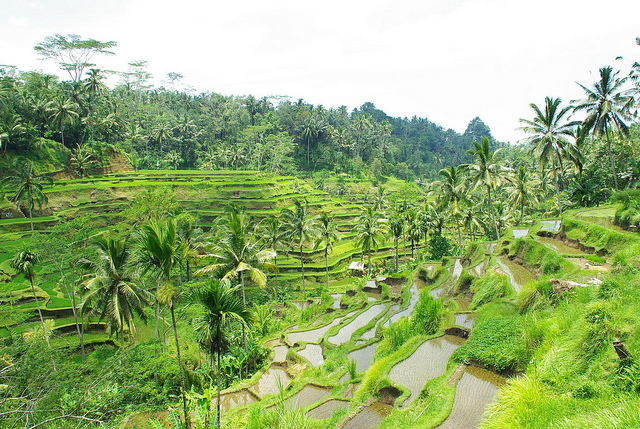 rice paddies of tegalangRice Terraces of Tegalalang